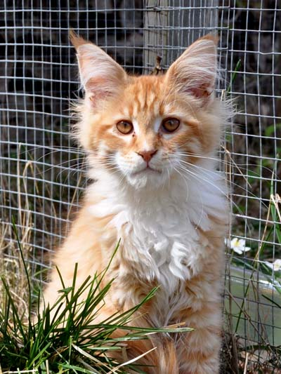 Red mach tabby/white Maine Coon, Spellbound's Jazz