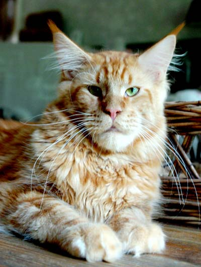 Maine Coon male, spellsbound's Hampus