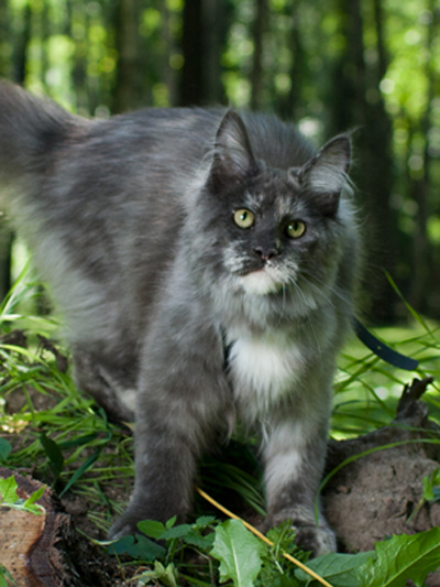 Maine Coon female, Spellbound's Uma