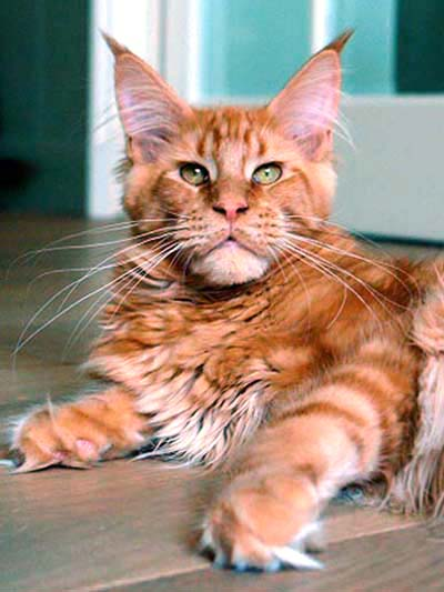 Maine Coon, Spellbound's Hampus