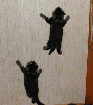 Maine coon kittens on the wall