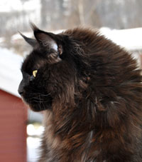 Maine Coon, black