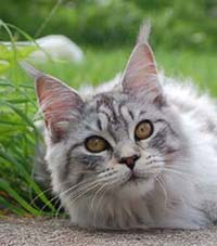 Blacksilver spotted maine coon