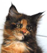 Blacktortie maine coon