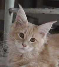 Maine Coon, Cremetabby