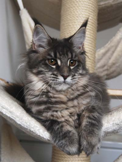 Maine Coon female, Spellbound's Curly Sue