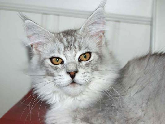 Maine coon male, Spellbounds Festus-blacksilver shaded