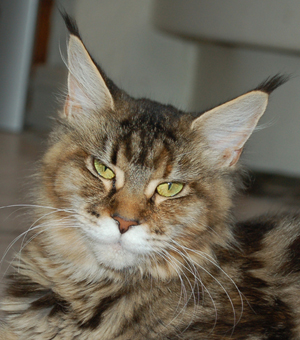 Maine Coon Female, Spellbounds Ilessa (1 year)