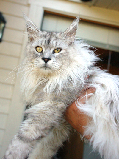 Maine coon male, Spellbounds Lanthir-blacksilver shaded