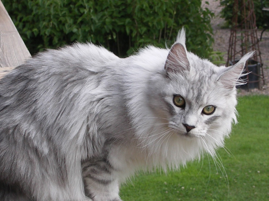 Maine coon female, Spellbounds Linusida-blacksilver shaded