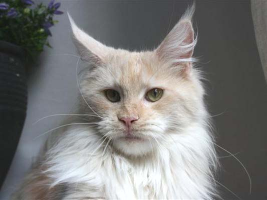 Maine coon female, Spellbounds Rave-redsmoke