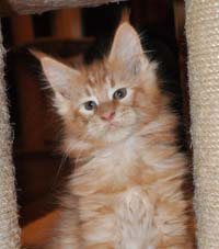 Maine Coon, red