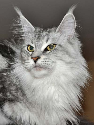 Maine Coon female, Spellbound's Mirawa