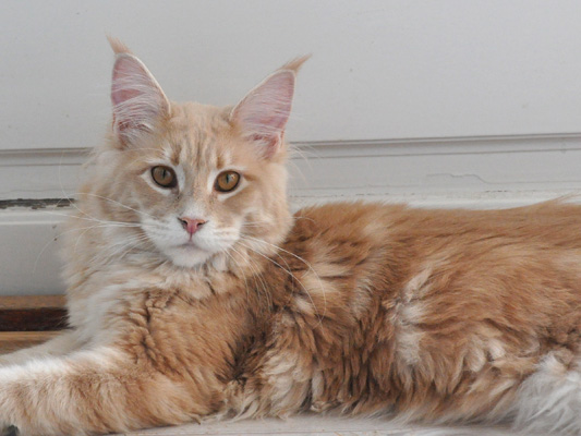 Cremetabby Maine Coon, Spellbound's When You Wish